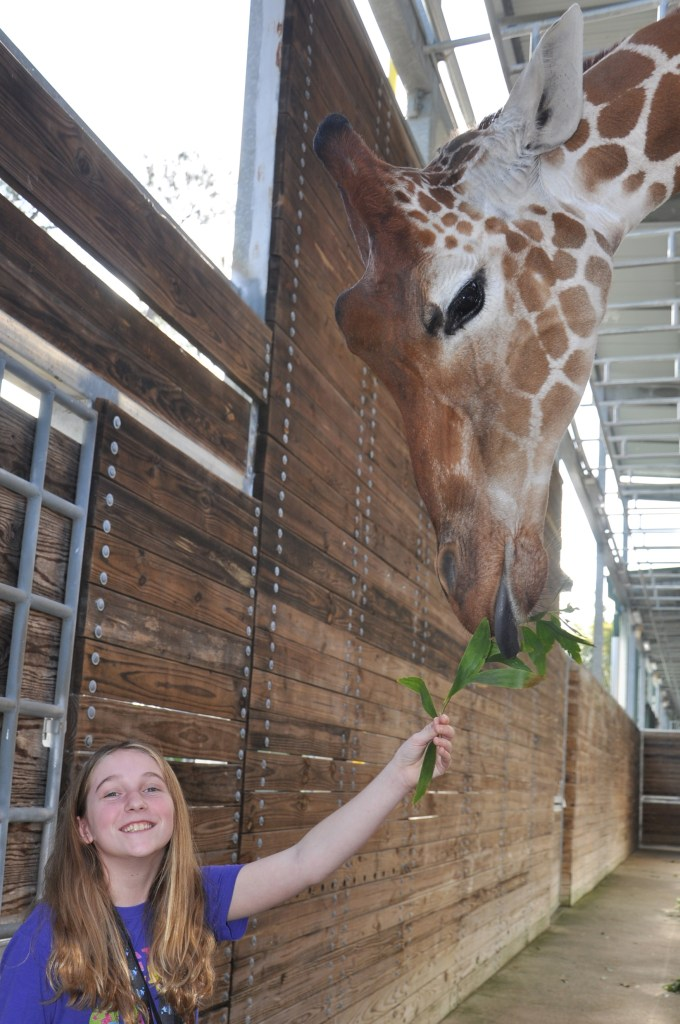 Sense of Africa Feeding Giraffe