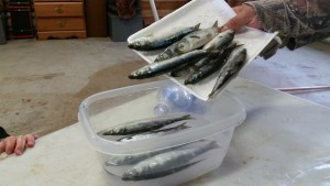 How to Brine Herring