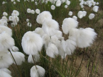 Arctic Cotton