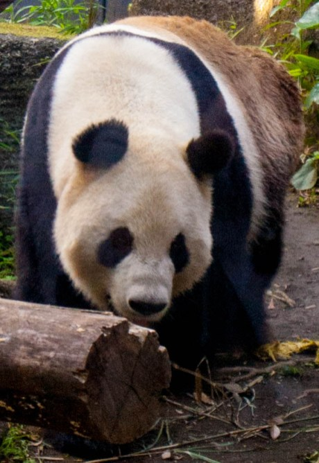 panda_3