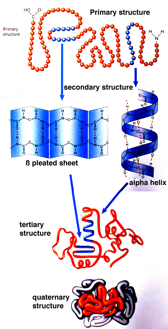 Protein Folding in the Neuron and the Mind  Jon Lieff MD