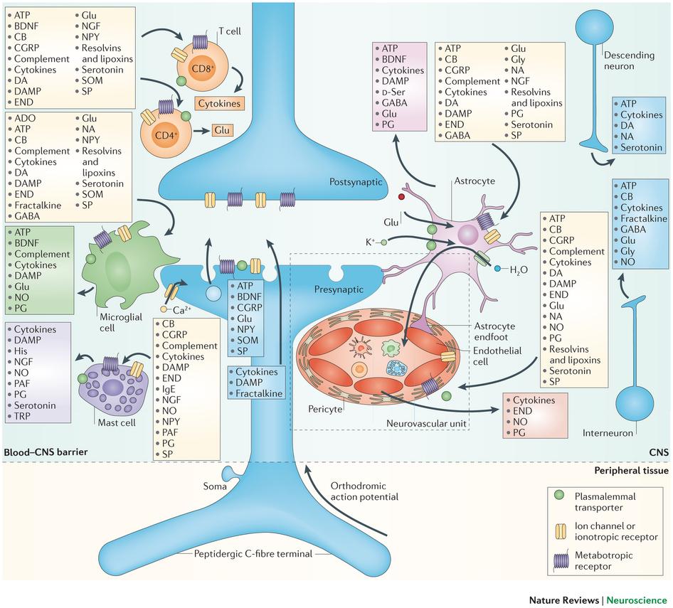 medium resolution of neuroplasticity and inflammation