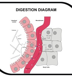vector digestion diagram abdominal tissue medical and educ [ 1000 x 851 Pixel ]
