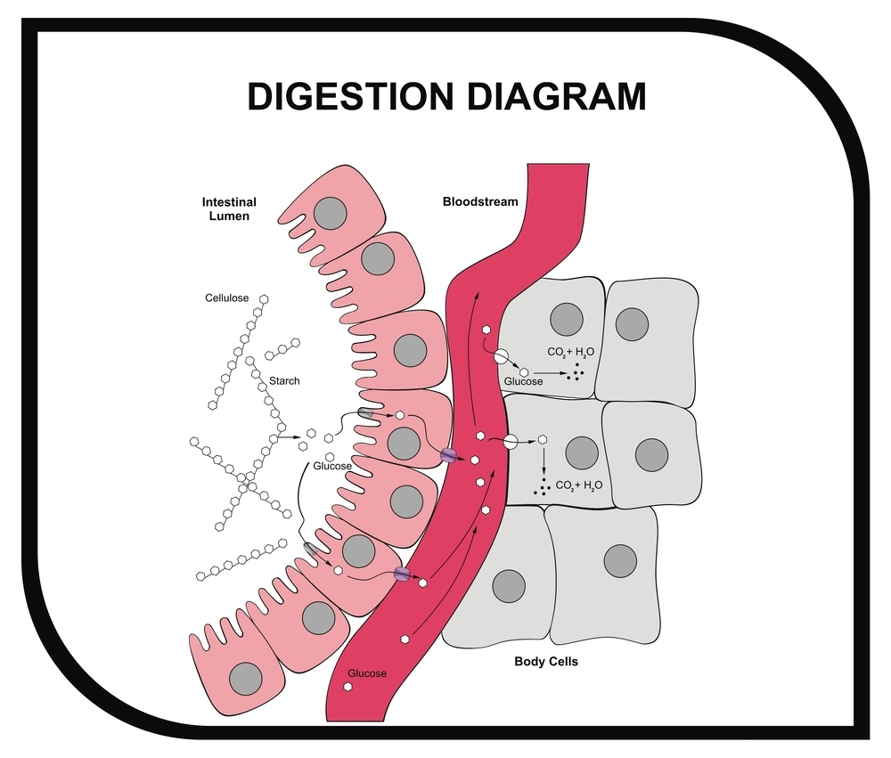 hight resolution of  vector digestion diagram abdominal tissue medical and educ