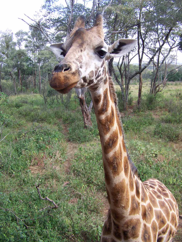 A Giraffe at the Giraffe Center in Nairobi