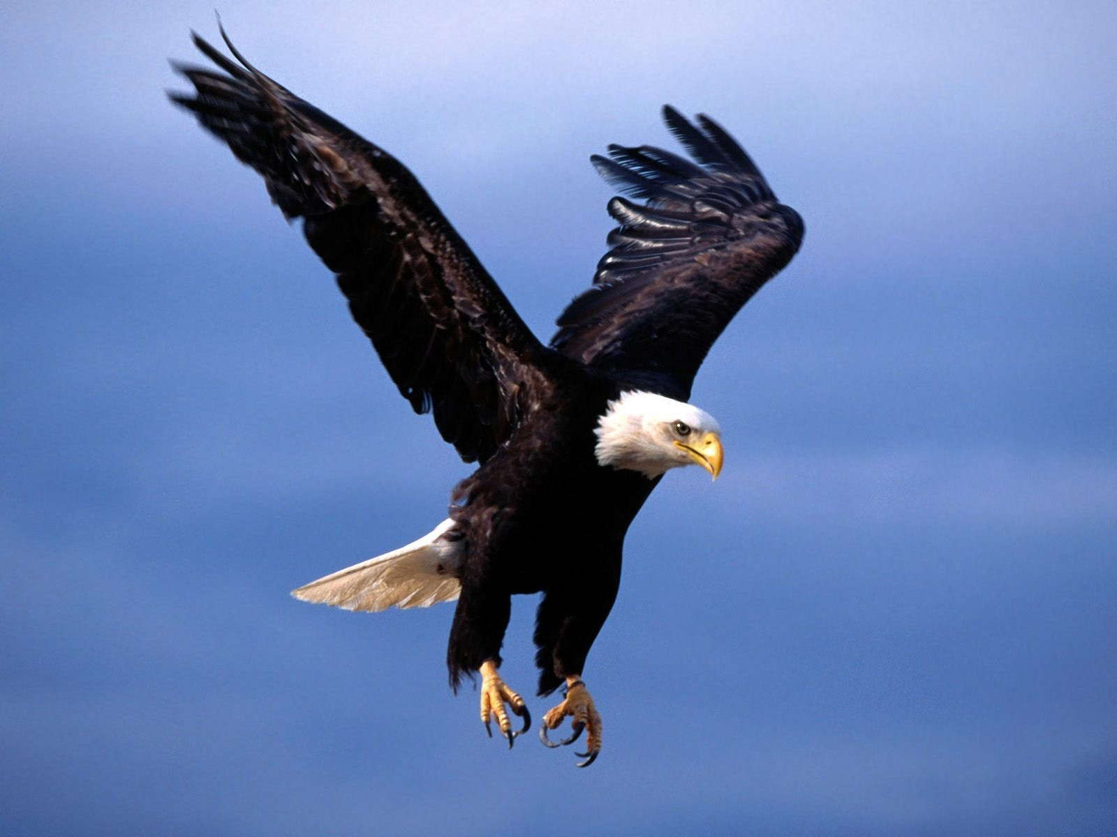 free photo flying hawk