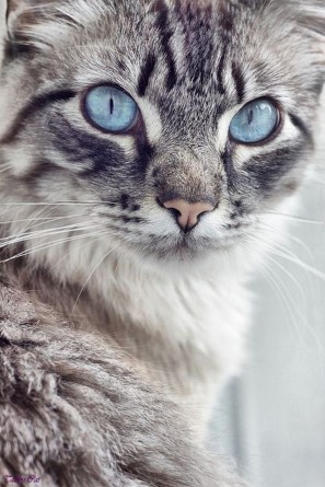 Image result for silver tabby cat blue eyes