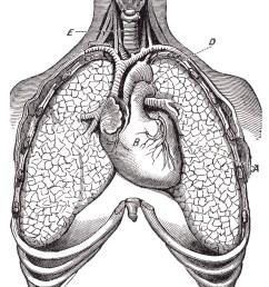 human heart lungs circa 1911 resource picture pulmonary retro  [ 1495 x 1800 Pixel ]
