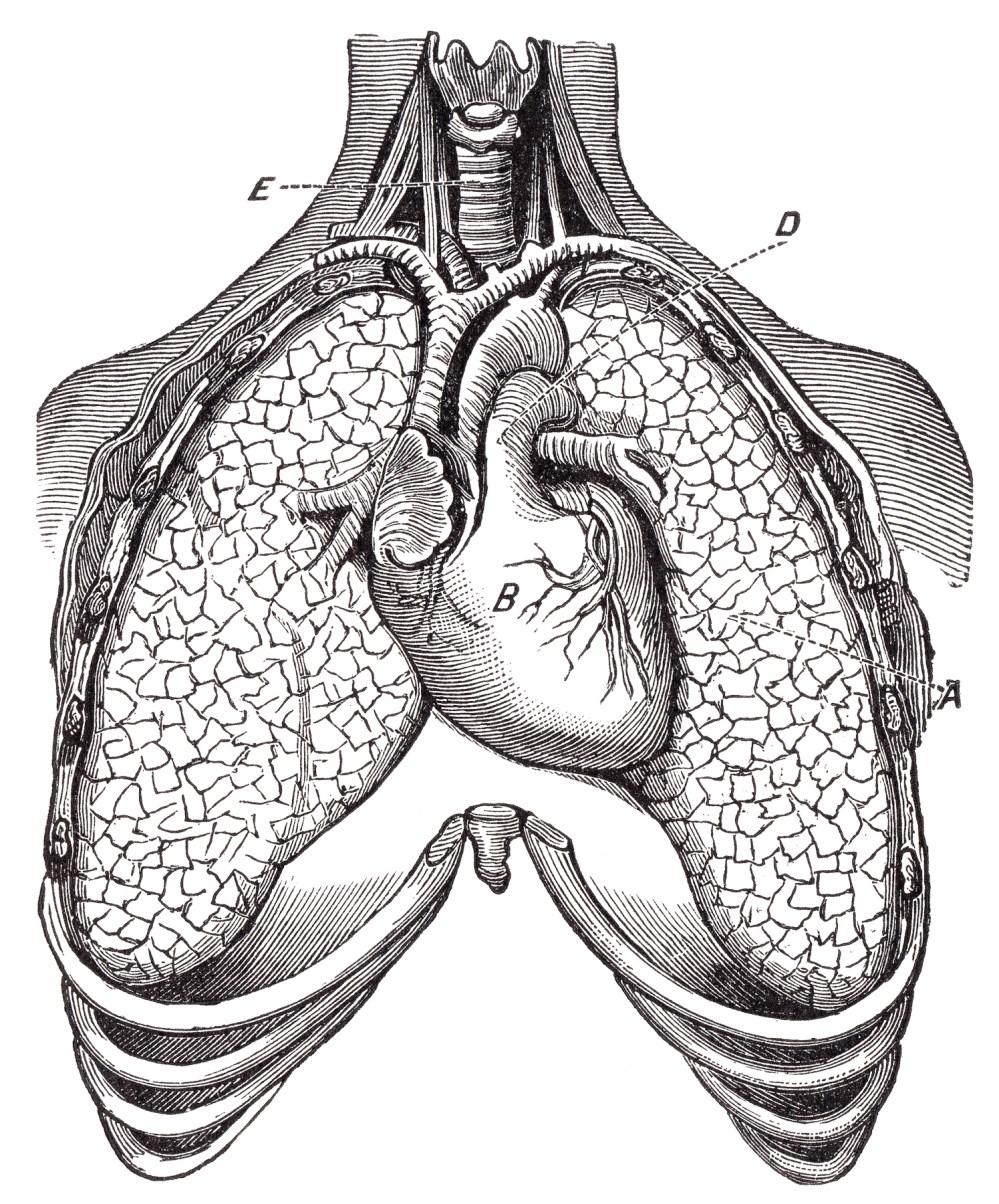 medium resolution of human heart lungs circa 1911 resource picture pulmonary retro