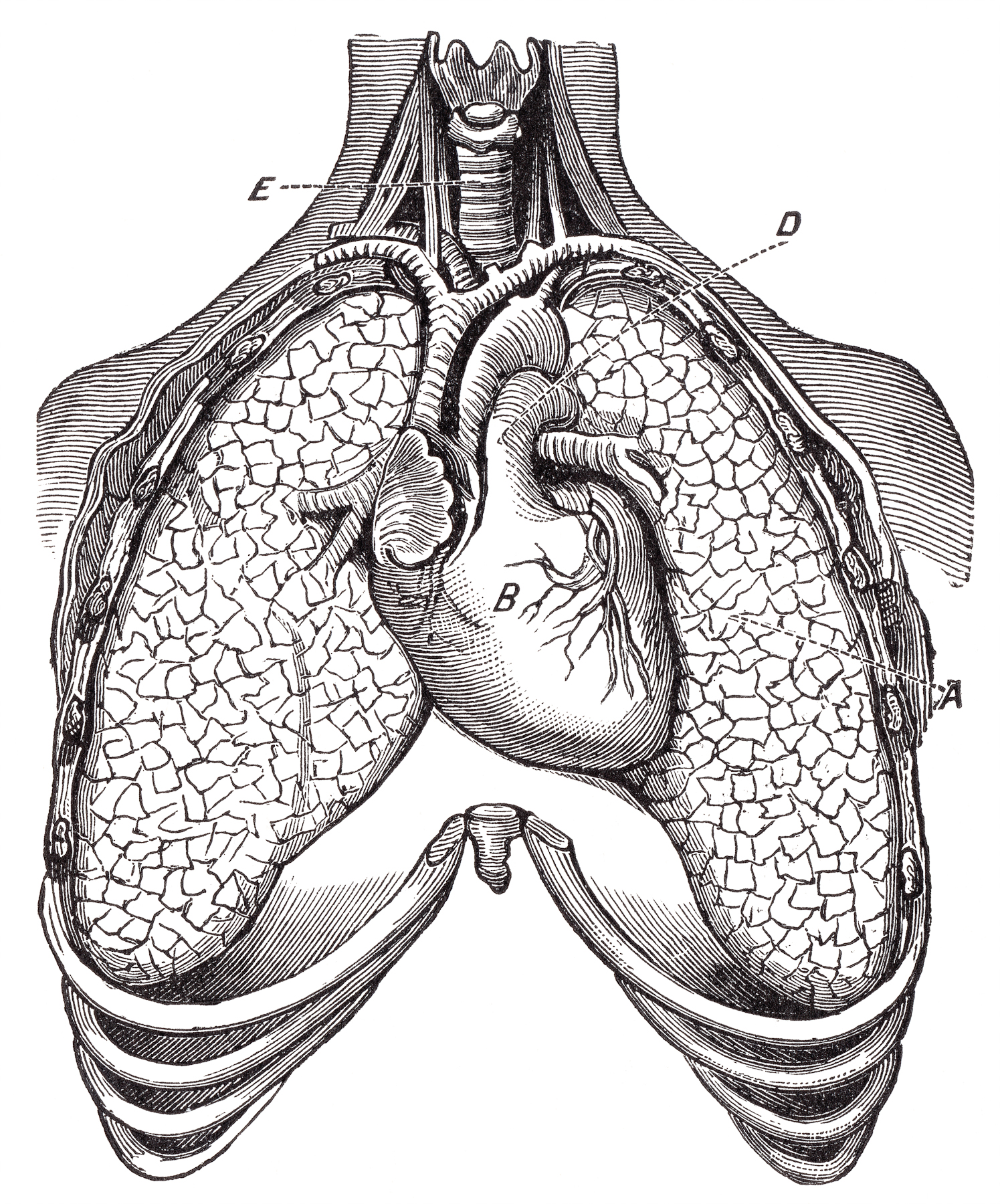 hight resolution of human heart lungs circa 1911 resource picture pulmonary retro