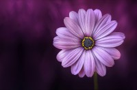 Free photo: Purple Flower - Garden, Nature, Fresh - Free ...