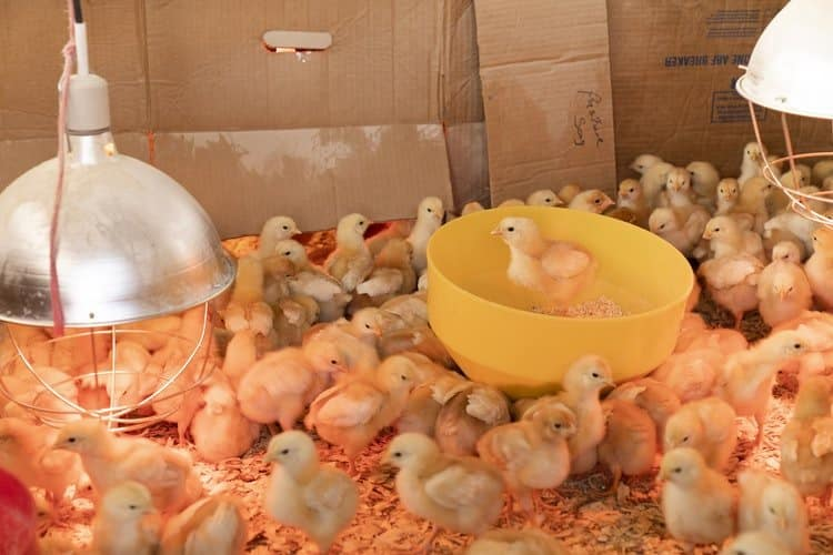 Poultry farming business in Kenya