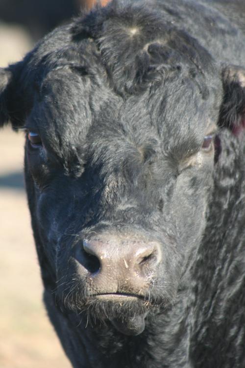 pissed-off Angus bull