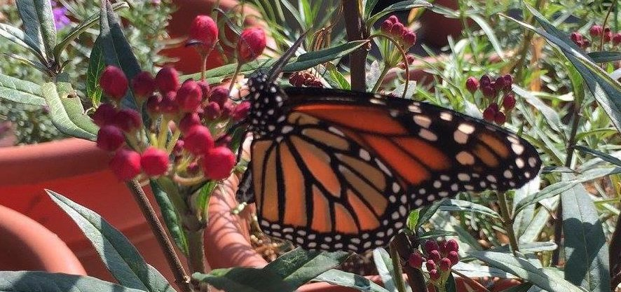 It's Time for San Diego to Take the Mayor's Monarch Pledge