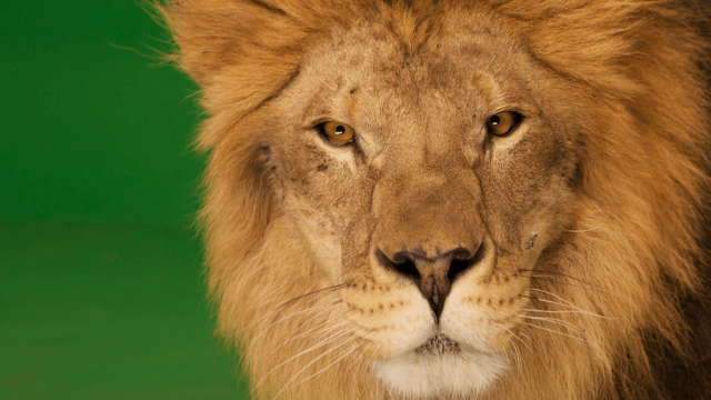 This is a live lion.