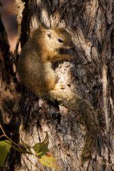 Tree Squirel