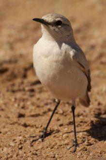 White Desert Bird
