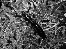 A black-and-white photo of a stick insect seen in 2001. It looks like a giant cockroach crossed with a small lobster. It's sitting on some tea tree leaves.