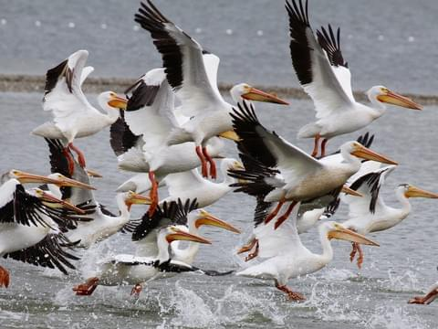 A flock of pelicans takes flight