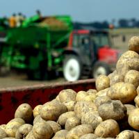 Ny maskine kan erstatte kemisk nedvisning i kartofler