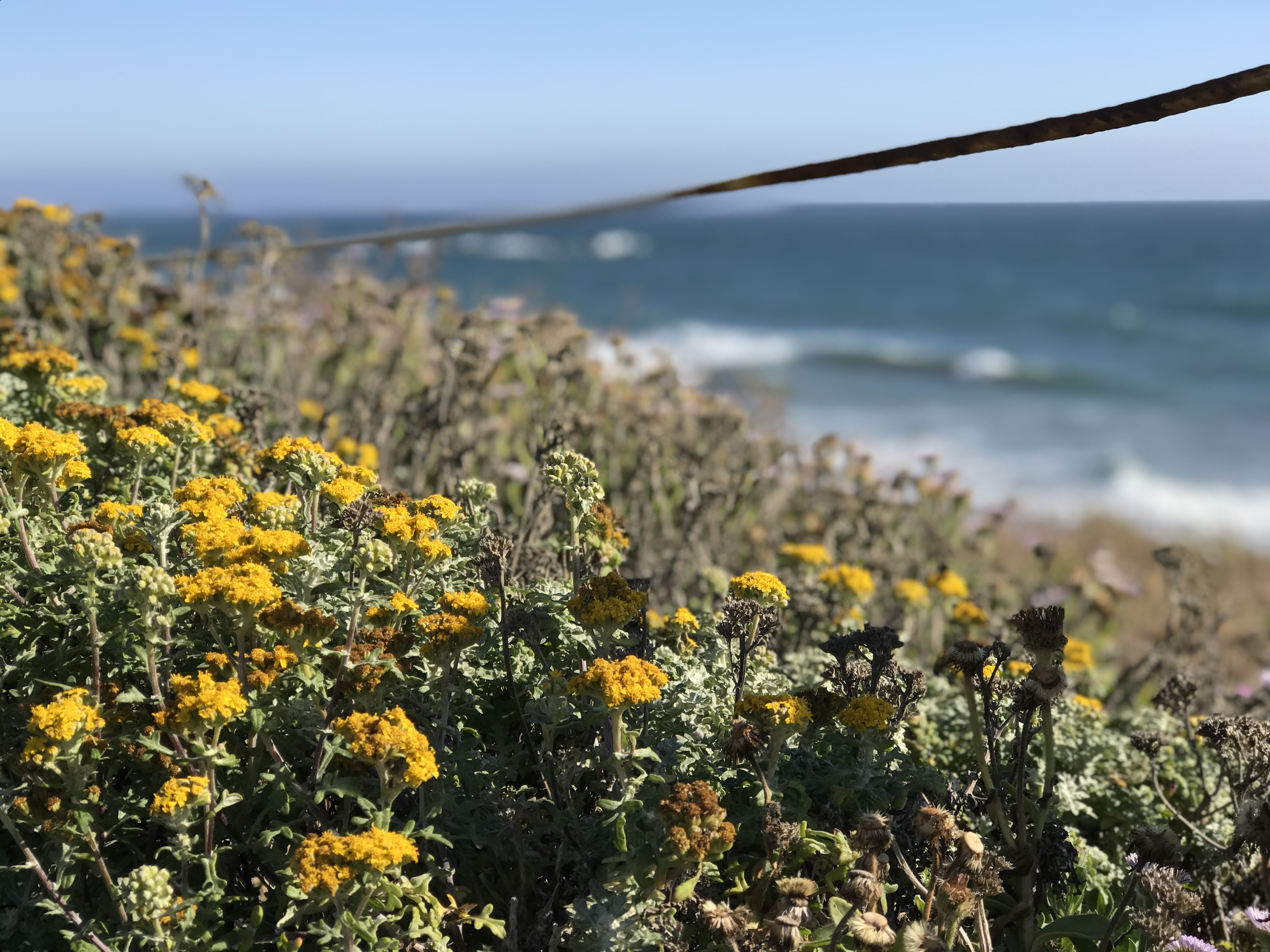 yellow wildflowers by the ocean