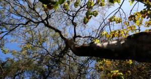Astrapeia e outras árvores da USP ganham identidade