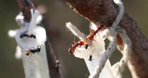 Quanto melhor o néctar da planta, mais agressiva é a formiga que a defende