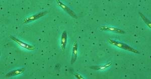 Cientistas descobrem como age o vírus que agrava a leishmaniose