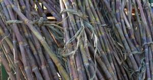 Grupo da USP publica o mais completo genoma da cana-de-açúcar