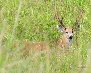 Cervo-do-Pantanal no Ambiente É o Meio