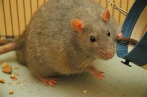 Descoberto na USP: Dieta de ratos machos afeta risco de câncer de mama na prole feminina
