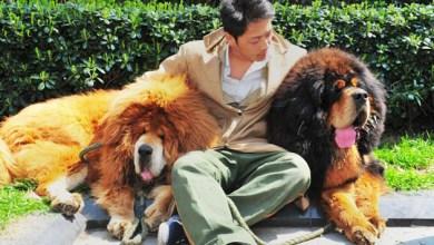 Photo of Mundo: 'Cão leão' é vendido por R$ 4,4 milhões em evento na China