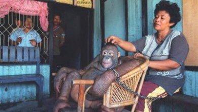 Photo of Mundo: Veterinária espanhola denuncia tráfico de orangotangos para prostituição