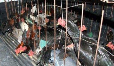 Photo of Chapada: Polícia desativa rinha de galo e 32 são detidos em Jacobina