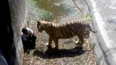Photo of Vídeo: Menino é morto por tigre dentro de jaula em zoológico da Índia