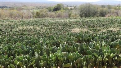 Photo of Chapada: Agricultores familiares da região são beneficiados com 8 milhões de mudas de palma