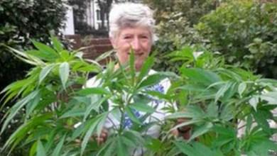 Photo of Aposentada descobre que 'planta misteriosa gigante' era maconha