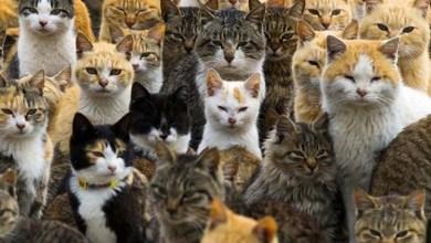 Photo of Mundo: Ilha japonesa tem seis vezes mais gatos que humanos