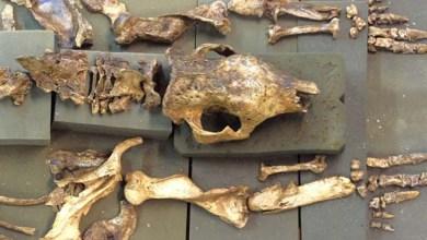 Photo of Pesquisador quer expor réplica de fóssil de tatu gigante achado na Chapada Diamantina