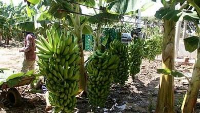 Photo of Chapada: Adab capacita produtores de banana em Wagner para evitar entrada de pragas