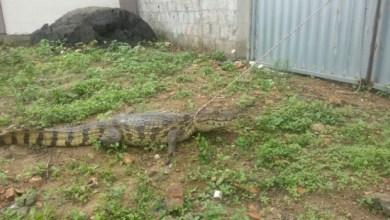 Photo of Bahia: Jacaré aparece em condomínio e assusta moradores de Feira de Santana