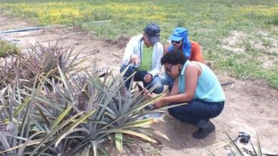 Photo of Chapada: Projeto desenvolve novas alternativas para a produção de abacaxi em Itaberaba