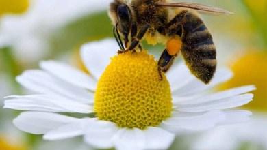 Photo of #Mundo: Extinção das abelhas preocupa pela importância do inseto para a natureza