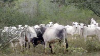 Photo of Chapada: Polícia recupera 36 cabeças de gado roubadas no município de Mairi