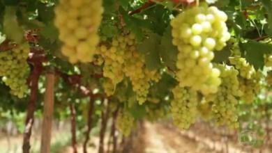 Photo of Produção de vinho é tema de reportagem sobre a região da Chapada Diamantina; confira aqui