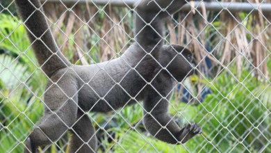 Photo of #Salvador: Macacos do Zoológico não oferecem risco relacionado à febre amarela