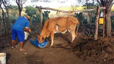 Photo of #Bahia: Seca prolongada atinge produtores bovinos no interior; animais têm que ser içados para sobreviver