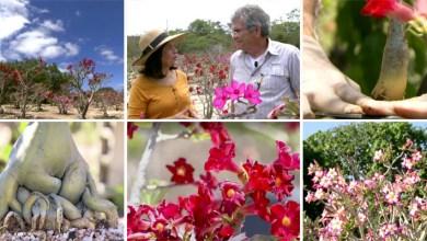 Photo of Chapada Diamantina é o recanto da rara rosa do deserto; veja trecho do Globo Repórter sobre o tema