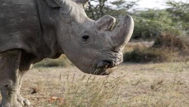 Photo of #Extinção: Último rinoceronte branco macho no mundo é sacrificado no Quênia