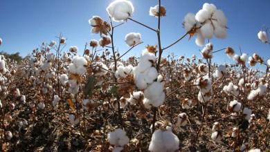 Photo of Bahia é certificada por 75% da produção de algodão sustentável